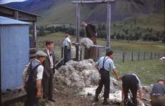 Sheep Shearing 3
