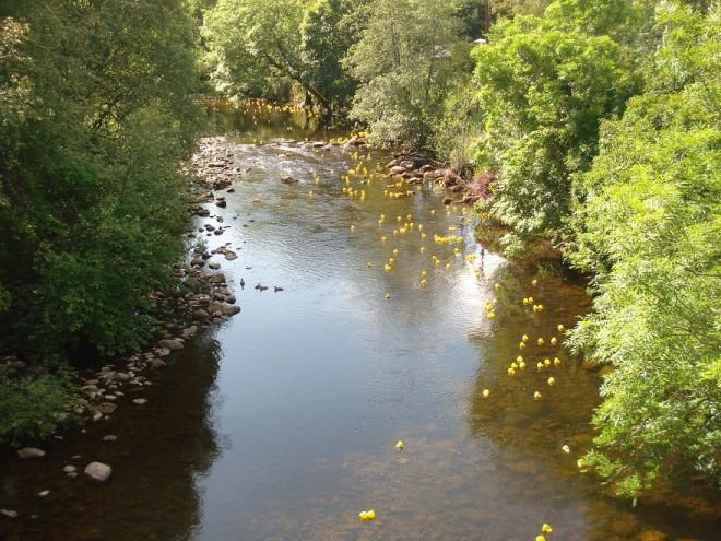 The ducks come down the river