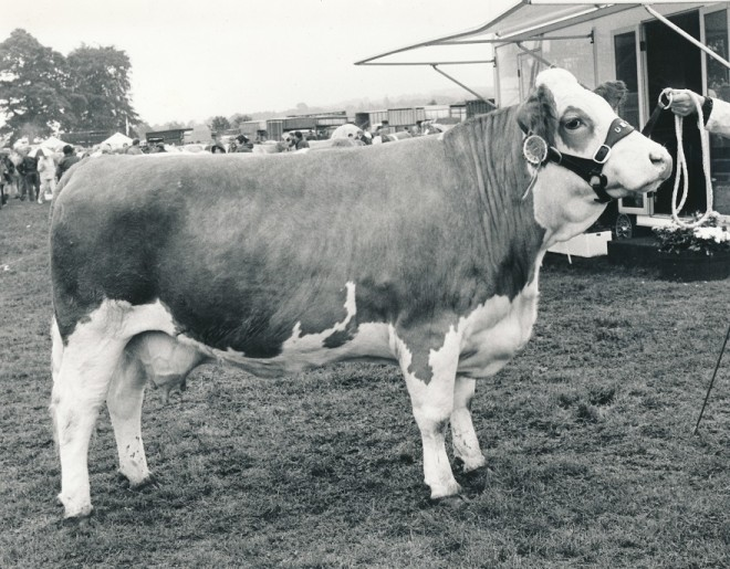 A prize bull from dinanean