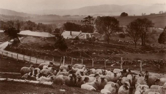 Sheep, Blacklunans