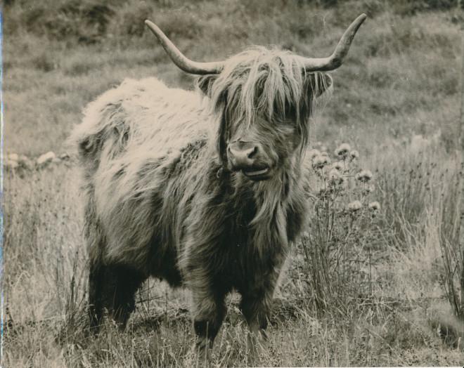 A Highland cow at Dirnanean